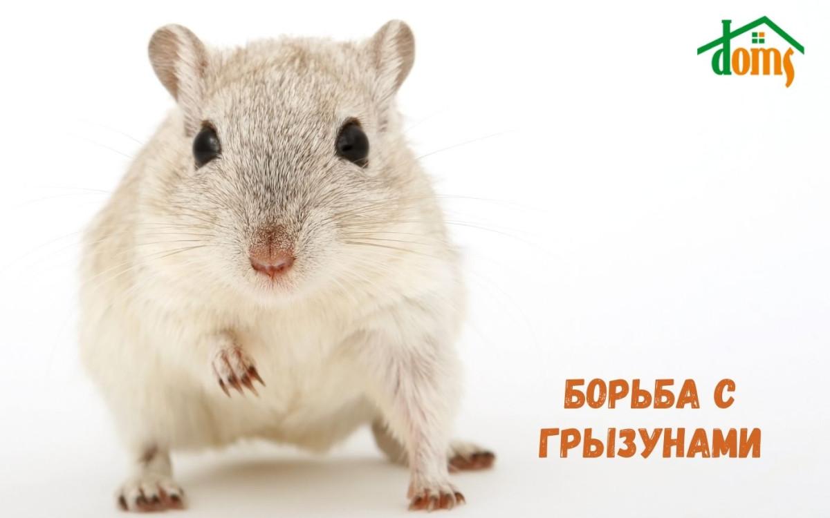 Борьба с крысами и мышами: отравы, отпугиватели, ловушки
