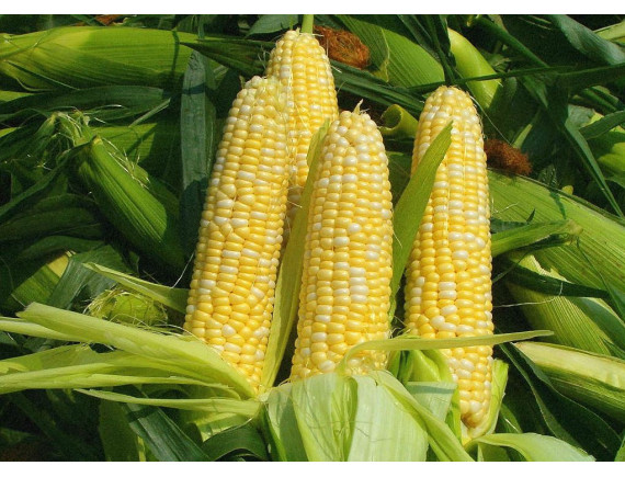 Кукуруза сахарная Спирит F1 (20 шт)