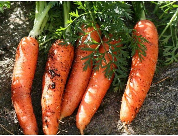 Морковь Бангор F1 (0.3 гр)