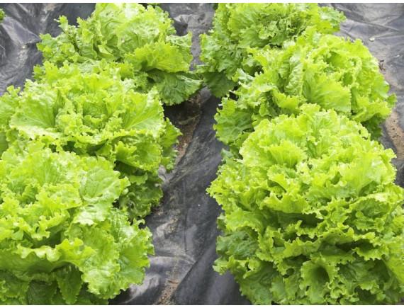 Салат листовой Фантайм (0.05 гр)